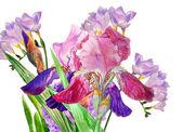 Claret iris and fresia — Stock Photo