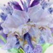 Background with two white irises — Stock Photo