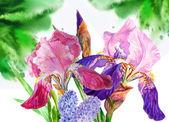 Blue claret  irises — Stock Photo