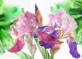 Two blue claret  irises — Stock Photo