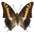 Butterfly Giant Emperor Charaxes Castor Isolated On White — Stock Photo