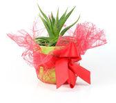 Decorative red cactus pot — Stock Photo