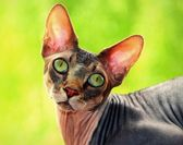 Sphynx hairless cat on a green background — Stock Photo