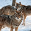 Stock Photo: Wolves in the snow
