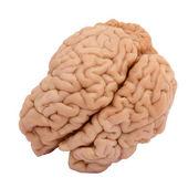 Gerçek beyin — Stok fotoğraf