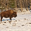 Bison in the snow - Stock Photo