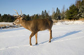 Buck deer in the snow — ストック写真