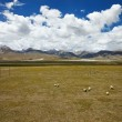 Stock Photo: Sheep grazing on TibetPlateau plains