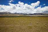 Sheep grazing on Tibetan Plateau plains — Stock Photo