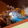 Portrait of budgerigar — Stock Photo