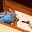 Budgerigar next to the clock — Stok fotoğraf