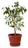 Ficus tree in flowerpot — Stock Photo