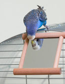 Budgie and a mirror — Stock Photo