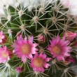 Cactus flowers - Stock Photo