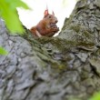 Royalty-Free Stock Photo: Squirrel on the tree