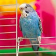Blue budgie — Stock Photo #24068087