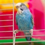 Blue budgie — Stock Photo