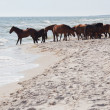 Wild horses on the beach — Stock Photo