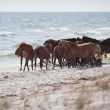 Wild horses on the beach - ストック写真
