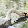 Big mute swan searching for food in water — Foto de Stock