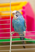 Blue budgie — Stock Photo