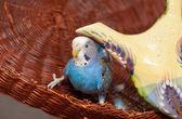 Blauer Wellensittich — Stockfoto