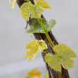 Grapes in spring — Stockfoto