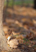 Red squirrel in autumn park — Stock Photo