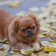 Pekingese plays with a tree branch — Stock Photo