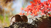 Oak with burls — Stock Photo
