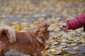 Boy plays with a pekingese by leaf — Stock Photo