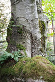 Old beech — Stockfoto
