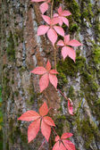 Autumnal red ivy leaves — Stock Photo