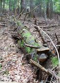 死んでいる小ぎれいなな木の幹 — ストック写真