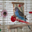 Budgie — Stock Photo
