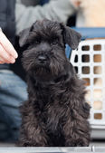 Schnauzer miniature — Photo