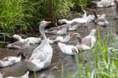 Offspring of geese — Stock Photo
