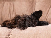 Miniature schnauzer on couch — Photo