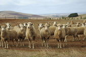 Sheep looking in rural australia — Stock Photo