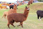 Brown llama animals — Stock Photo