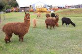 Animali lama marrone — Foto Stock