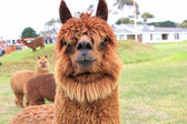 Brown llama close up — Stock Photo
