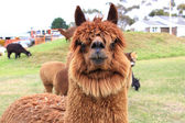 Brown llama close up — Stock Photo