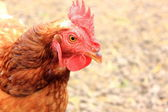 Pollo de corral — Foto de Stock