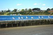 Australian seagulls over looking sea — Stock Photo