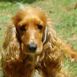 Foto Stock: Golden cocker spaniel