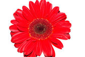 Red gerbera daisy flower isolated — Photo