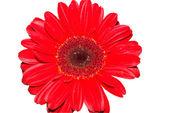 Rote gerbera gänseblümchen-blume, isoliert — Stockfoto