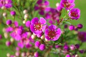 Bright pink wax flower — Stock Photo