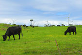Cows and wind turbines — Stock Photo